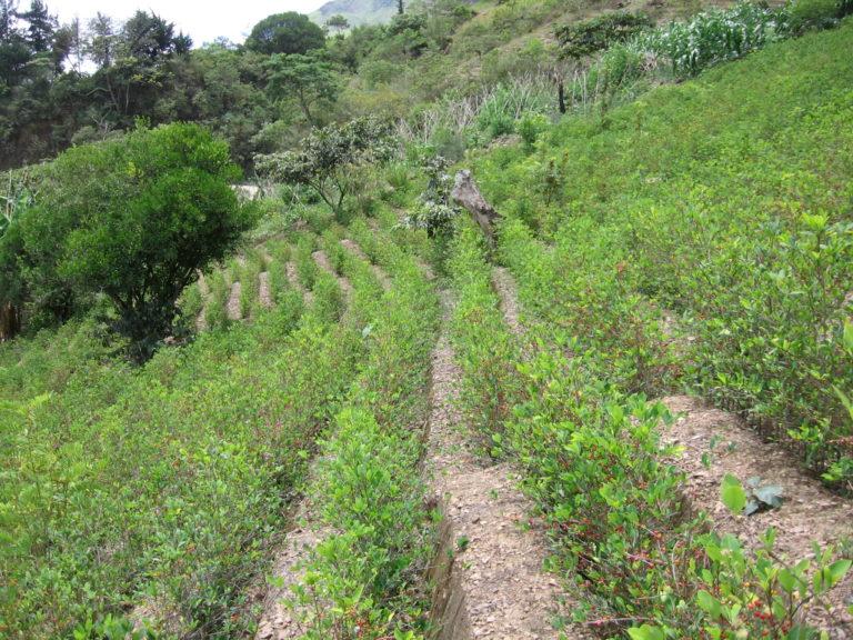 Colombia redujo en 7% los cultivos de coca en 2020: Naciones Unidas