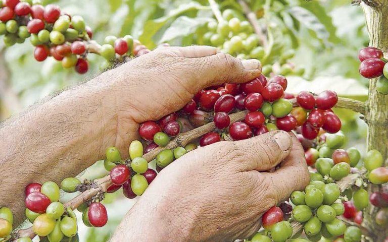 La producción de café de Colombia creció un 11 % durante febrero