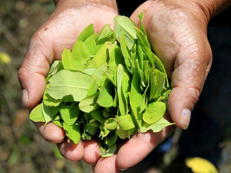 Congreso radica proyecto de ley que busca regular la hoja de coca