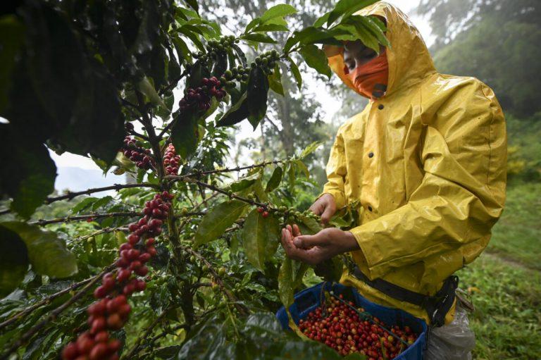 Producción de café en Colombia fue 30% más alta durante Marzo