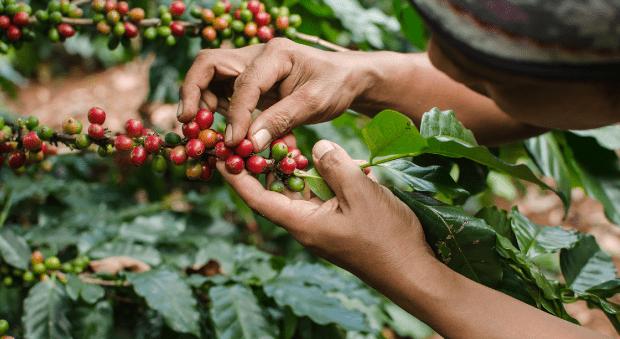 El café colombiano alcanzó un nuevo precio histórico
