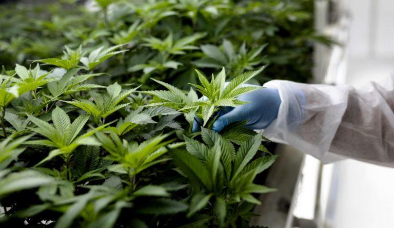Cannabis medicinal aportaría 1.700 millones en exportaciones para 2030